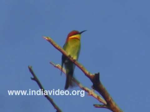 Chestnut Headed Bee Eater or Merops leschenaultia