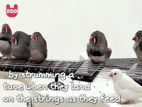 Rock 'n' Roll Birds, uccellini che suonano la chitarra elettrica 2