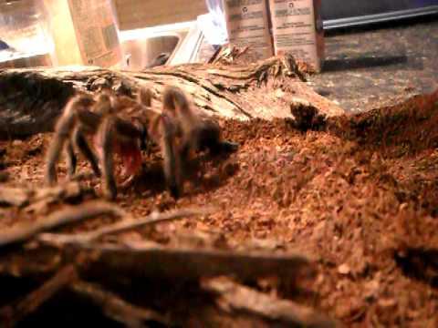 Tarantula Web Spinning And Spinning Web Part 2