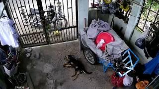 Trộm Chó Trong Nhà Và Nhà Có Chó Nên Xem Để Cảnh Giác