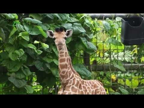 A Day In the Life Of A Baby Giraffe