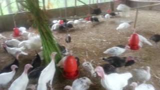 Turkey farm Magura...01732093250