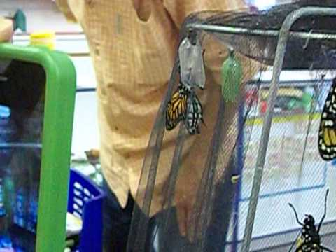 Monarch Butterfly Emerges at Geneva Day School - 03/31/2014