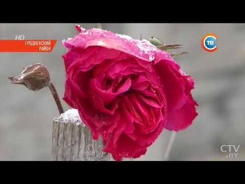В декабре зацвели розы в Гродненском районе