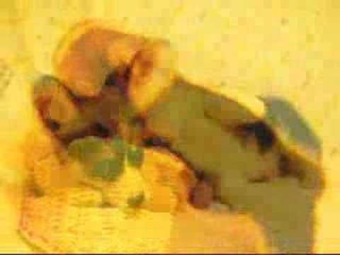 威爾斯哥基犬Pembroke Welsh Corgi
