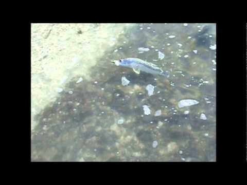 Barefoot-beach-snook.wmv