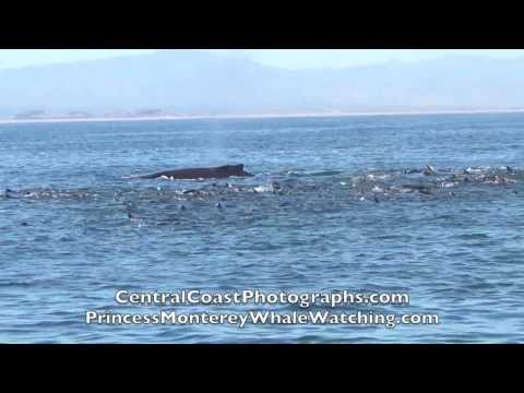 Humpback Whales feeding frenzy and Orcas-Monterey Bay, California. 11-1-13
