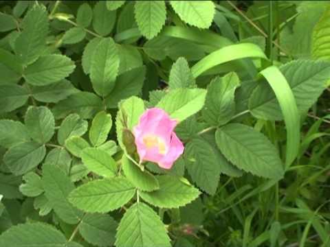 Rosa selvatica @ Fiori e piante della montagna bellunese 03.05.2013