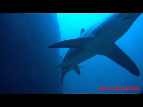 Malapascua Diving experience 2013 (Thresher Shark) (Borneo Boy Studio)