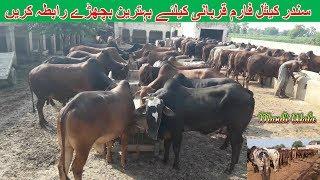 59 | Cow Mandi 2018/2019 | Sundar Cattle Farm | Bull Qurbani for sale
