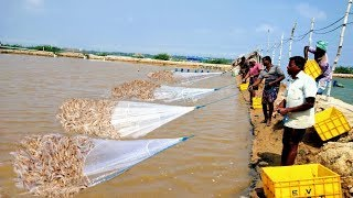 PRAWN/SHRIMP HARVESTING