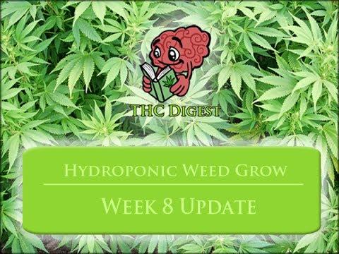 Hydro Bubbleponics Weed Grow   Week 8