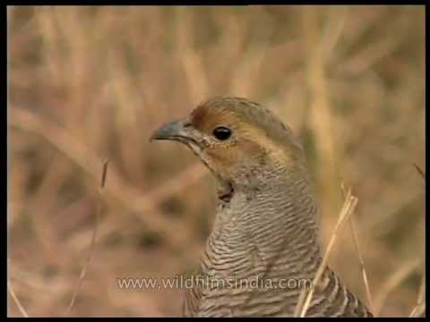 Grey Francolin or safed teetar calling (Francolinus pondicerianus)