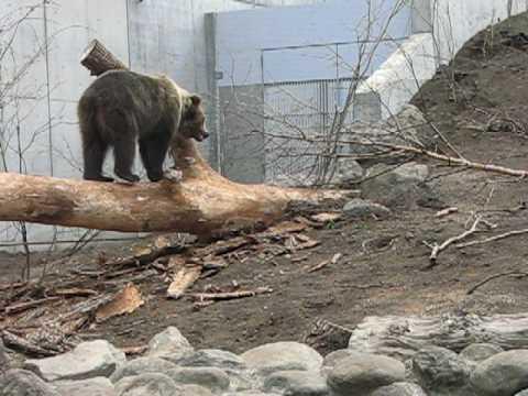 MARUYAMA ZOO Brown Bear やんちゃなヒグマ トワ 2010.5.6