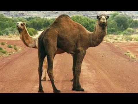 India: camello mata a su dueño tras permanecer varias horas bajo el sol