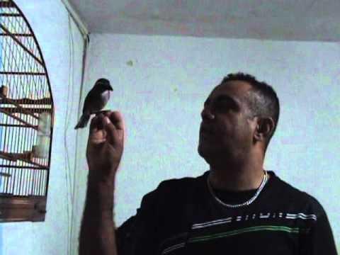 Picharro cantando na mão (Simon)