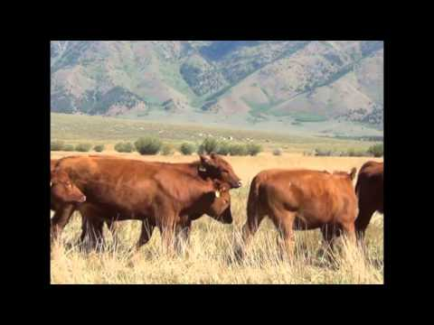 Superior Livestock - Select Replacement Female Auction - October 22nd 2015