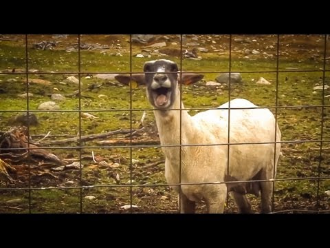 The Screaming Sheep (Original Upload)