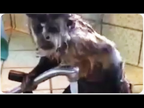 Squirt The Monkey Showers For Talk Show | Paid In Bananas video