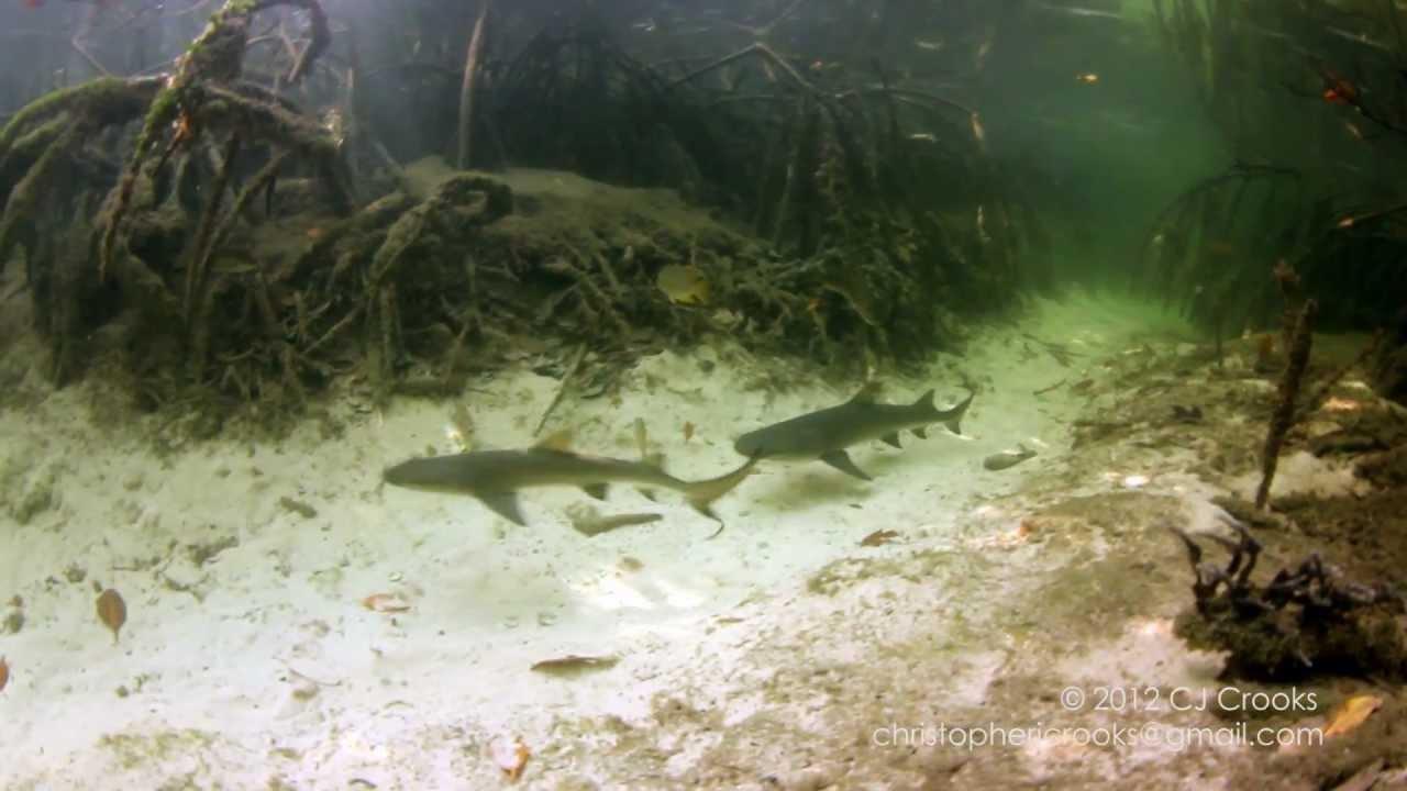 Shark Juvenile Juvenile Lemon Shark Research