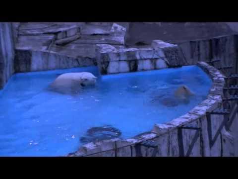 ホッキョクグマの赤ちゃん活魚初体験(夜の動物園)