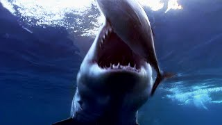 See Why The Great White Is The Heavyweight Champ Of The Ocean | SHARK WEEK