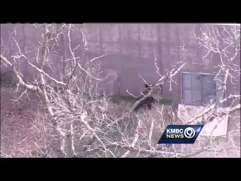 Fallen tree enables chimp escape at KC Zoo