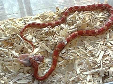 Lava Corn Snake Baby Lava Corn Snake Feeding