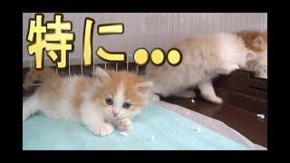【猫好き】特に…(マンチカン)《funny cats》