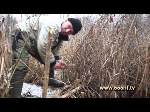 охота на бобра с приманкой видео