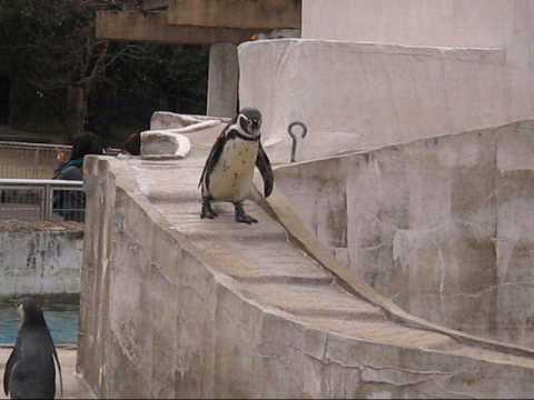 【動物園シリーズ】とことこペンギン!