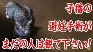 子猫を飼っている皆様へ。子供を作らせないなら発情期の前に避妊手術をしましょう。