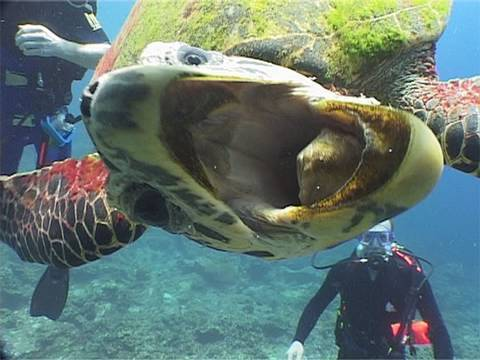 turtle, hawksbill turtle, scuba diving, diving, underwater, cute, animal, funny, comedy, Similan, Thailand, reptile, Eretmochelys imbricata, Koh Bon, camera, Nick Hope, Bubble Vision, travel, nature, yt:quality=high