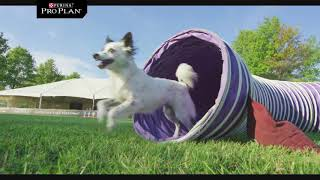 Dog Agility & 30 Weave Up and Back Competition -Purina Pro Plan Incredible Dog Challenge