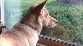This Dog Stares Out Window Every Day - When Owner Finally Realizes Why Dog's Heartbroken They Put Up