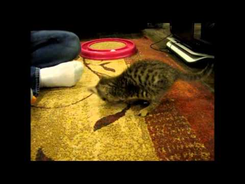 Mercury the two legged kitten playing with a ball 7 weeks old