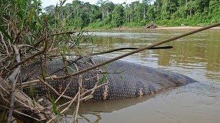 Green Anaconda - World's Biggest Snake