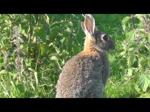 17 HMR rabbit at 190 yards. hydrostatic damage with ballistic tip