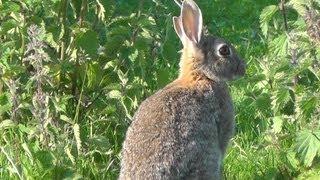 17 HMR rabbit at 190 yards, hydrostatic damage with ballistic tip