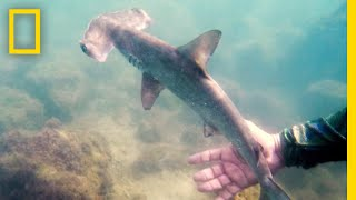 See a Hidden Hammerhead Shark Nursery in the Galapagos   National Geographic