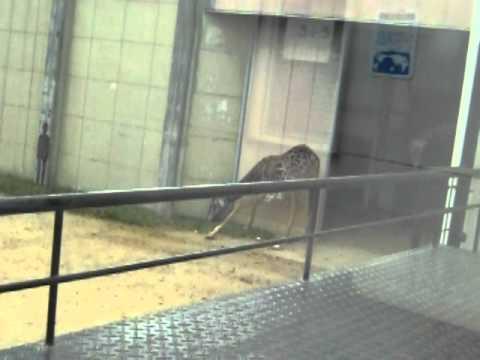 王子動物園マサイキリン・シゲジロウ20101109_118.AVI