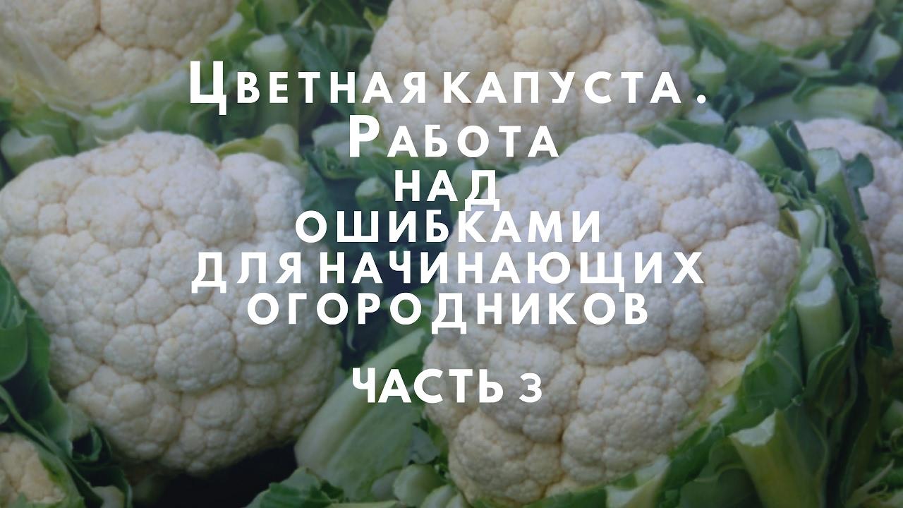 Ошибки при выращивании цветной капусты 60