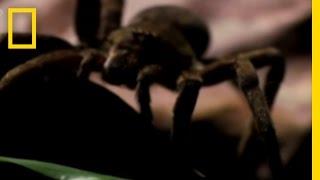 Thumb La araña más venenosa del mundo: Araña Errante Brasileña o Armadeira