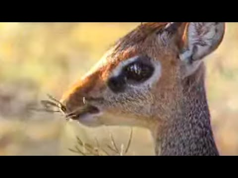History of the migration of animals from the rainforest to the Savannah Desert in Kenya, Africa - BBC wildlife