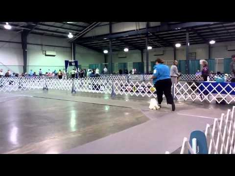 Maltese - Perry, Ga - Atlanta Kennel Club 4/16/11
