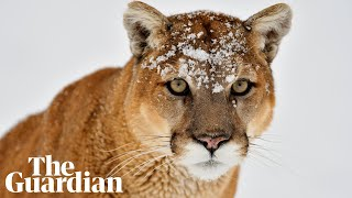 Washington police on fatal cougar attack: 'Extremely rare and unfortunate event'