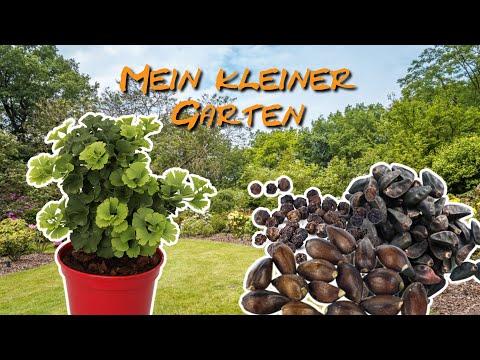 Ginkgo Und Weitere Exotische Samen - Mein Kleiner Garten #009