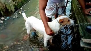 Download পোশা কুকুরকে গোসল করানো। Bangla Funny Video.Must Watch 3Gp Mp4