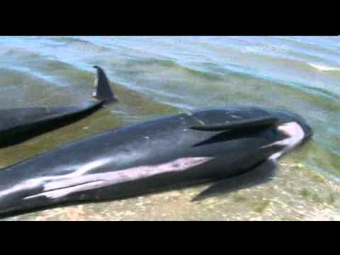 2012-01-24 - ONE NEWS - REFLOATED WHALES BEACH AGAIN