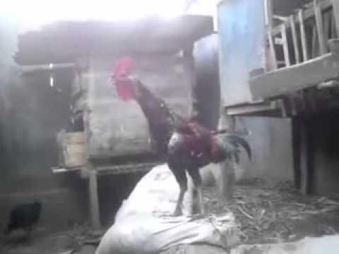 Si Quro Ayam Pelung Garut Suara Mantap video